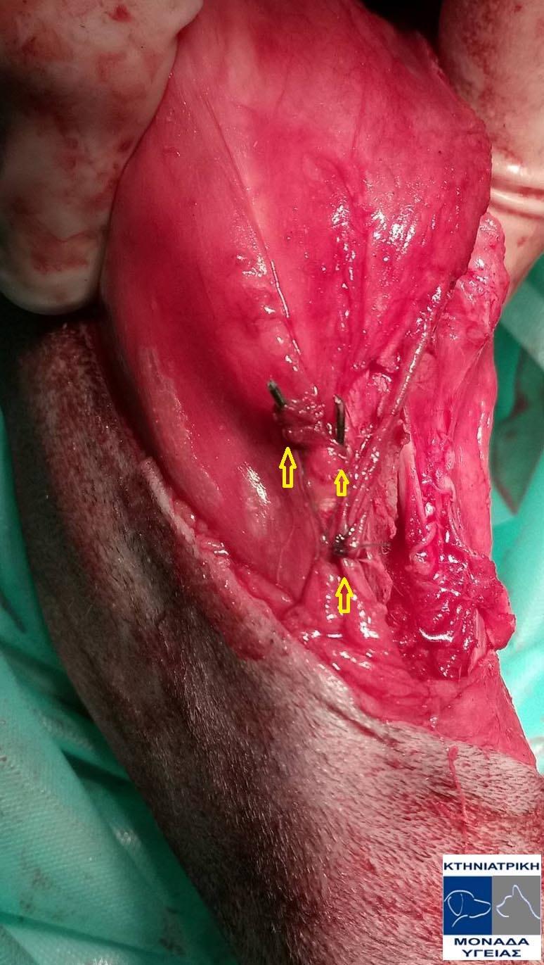 Χειρουργική αποκατάσταση εξαρθρήματος επιγονατίδας - ορθοπεδικος κτηνιατρος
