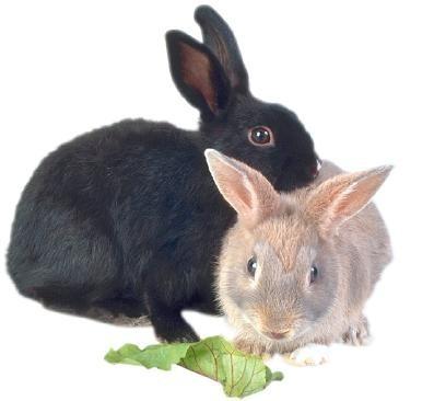 διατροφή στο κουνέλι